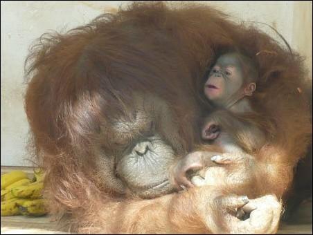 云南-红毛猩猩宝宝非常可爱; 红毛猩猩宝宝非常; 红毛猩猩健康满月