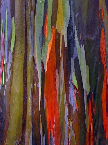 夏威夷彩虹桉树树皮色彩斑斓犹如油画